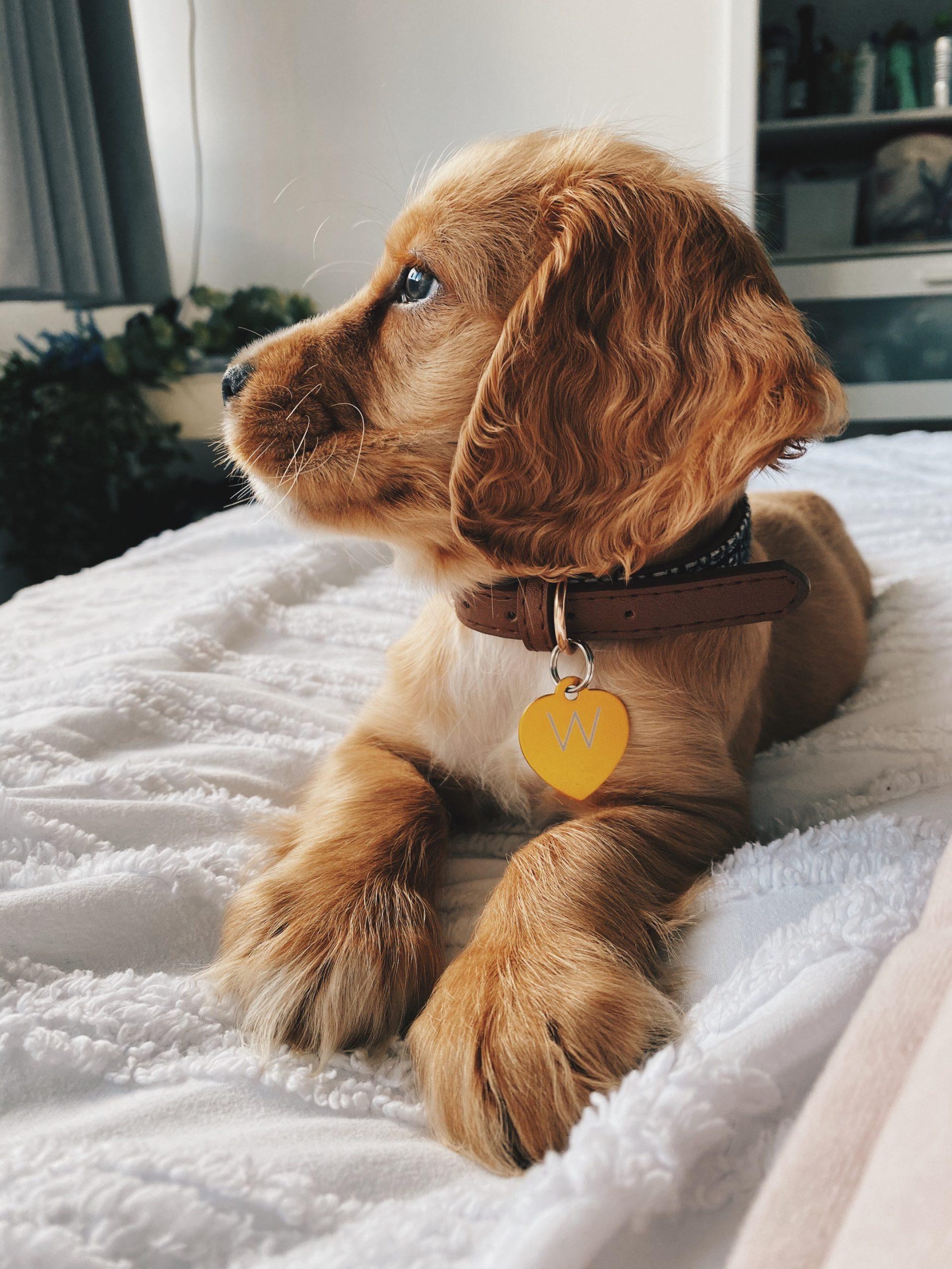 getting-a-puppy